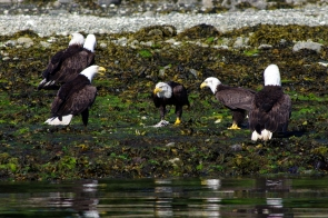 Bald eagles gather to scavenge at low tide, Ucluelet, B.C.