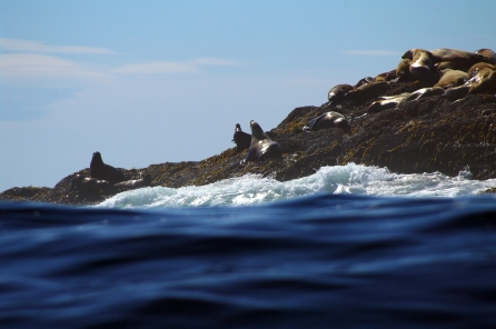 Surfing with the sea lions