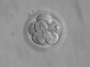 8-cell human embryo